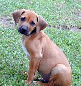 rhodesian-ridgeback-puppy-0001
