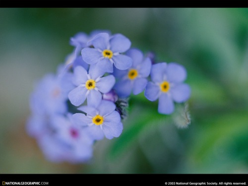 forget-me-nots-524365-sw