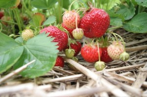 strawberries-vine-field-500x333