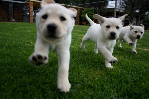 three_pups_run